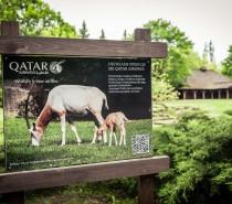 Antylopy oryks z warszawskiego zoo pod opieką Qatar Airways